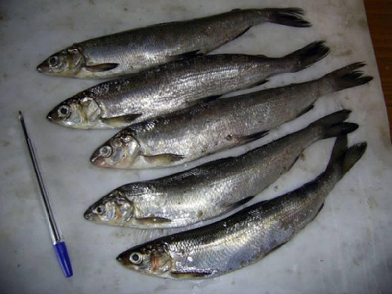 Рыба рипус: описание, фото и видео, ловля зимой на лампочку