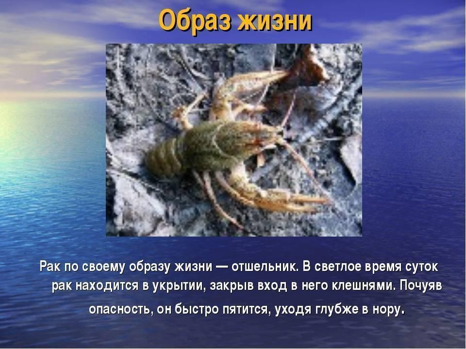 Рак-отшельник: характеристика и описание краба-отшельника