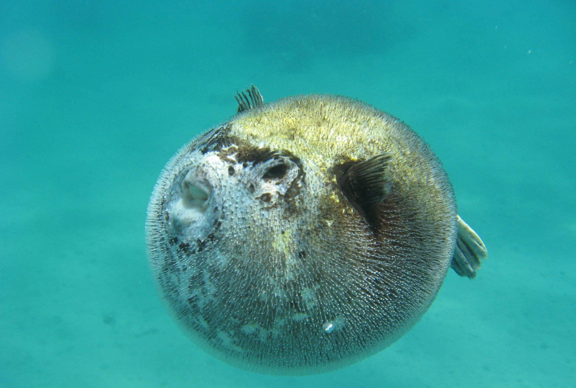 Сиамский петушок: виды, условия содержания рыбки, разведение