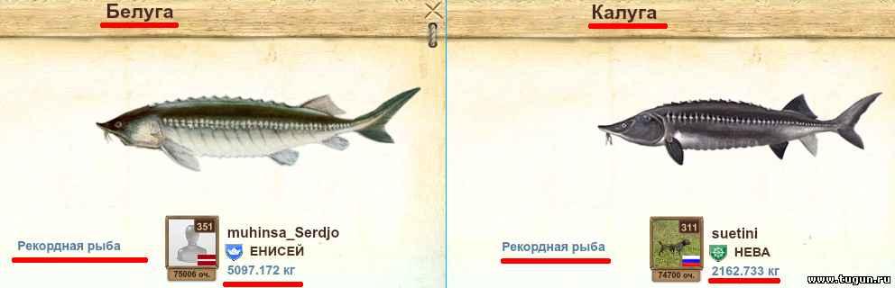 Осетр: где водится в россии (морская и речная рыба), сколько живет