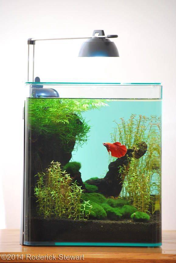 Особенности ухода и содержания рыбки петушка в мини-аквариуме