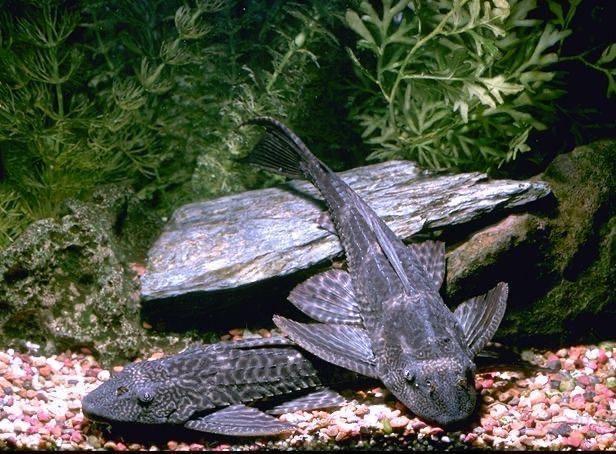 Аквариумные сомы: разновидности, советы по уходу и размножению