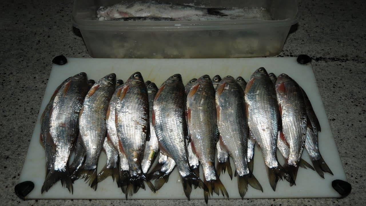 Рыба стерлядь – царская рыба: описание, подвиды, способы её ловли