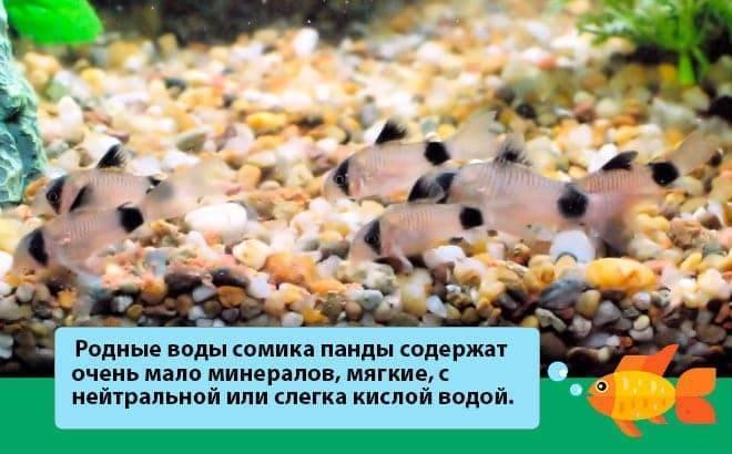 Коридорас или сом панцирник: содержание, уход, виды, размножение