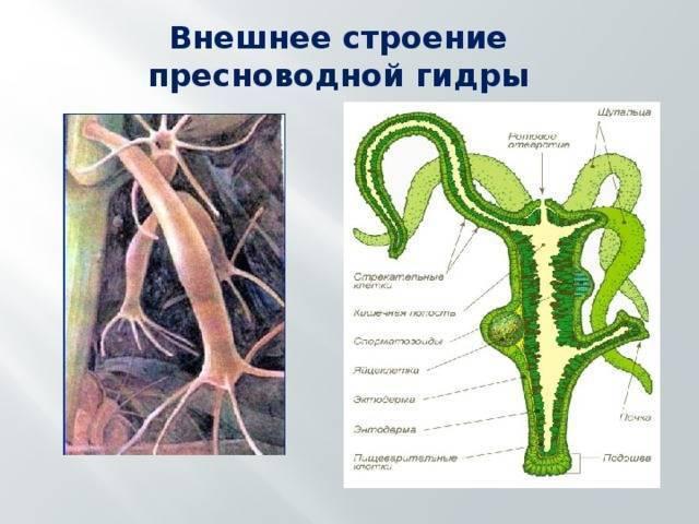 Деление гидры. как размножается гидра перекрестное оплодотворение - про здоровье