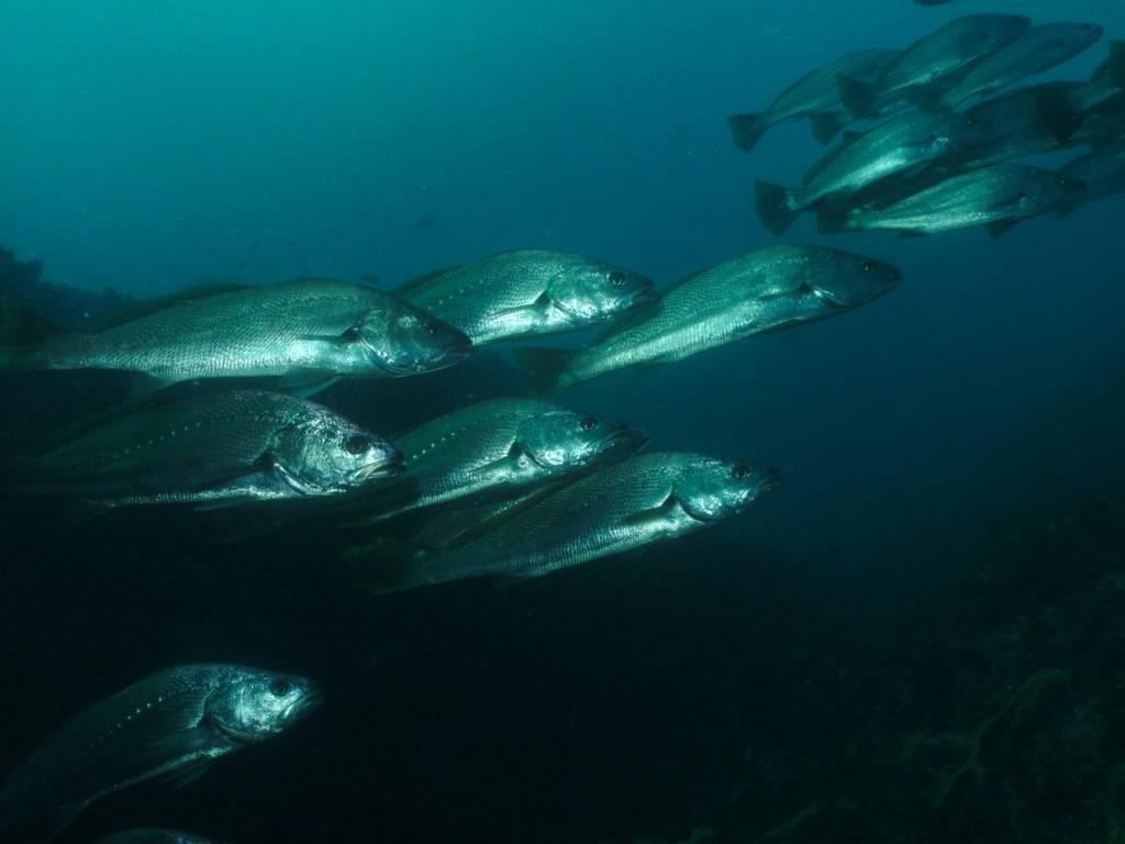 Ловля тунца в открытом море: приманки и способы ловли рыбы