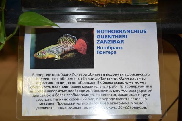 Нотобранхиус