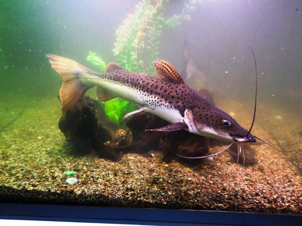 Клариус или сом клариас и его содержание в аквариуме