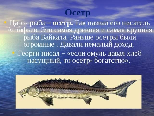 Осетр – описание, виды, фото, чем питается, где обитает