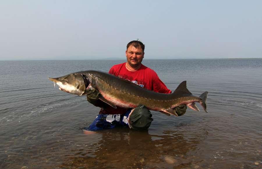 Белуга: фото и описание рыбы, ареал обитания и маршруты миграции, способы размножения белуги и особенности рациона
