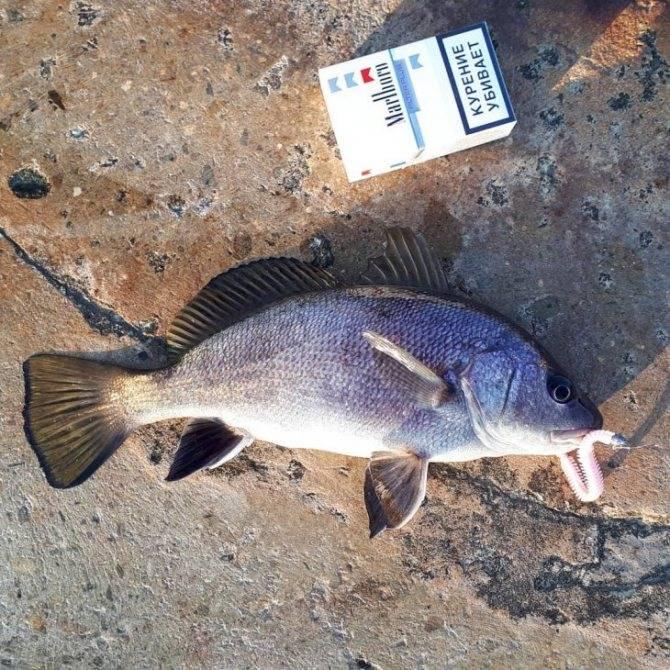 Как поймать рыбу дорада (sparus aurata) - где и на что ловить эту рыбу в средиземном море | все о рыбалке в израиле