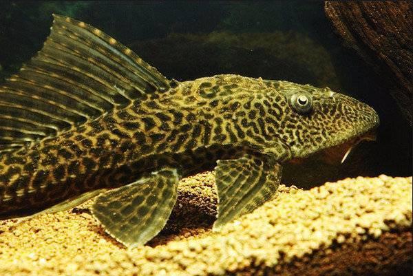 Чем кормить сомиков в аквариуме? 17 фото корма для аквариумных сомов. какие таблетки едят рыбки? чем питаются мальки?