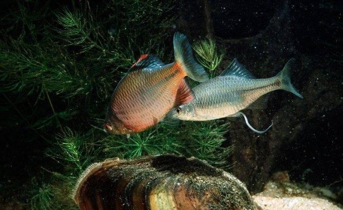 Клыкач рыба. описание, особенности, виды, образ жизни и ловля клыкача   животный мир