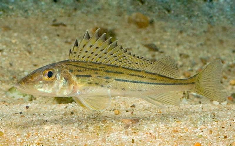Ерш рыба: (внешний вид, места обитания, размножение, питание)
