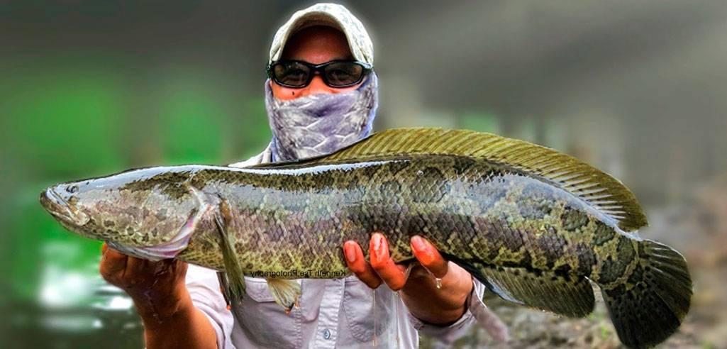 Ловля змееголова - все о рыбалке