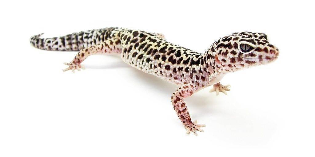 Основные правила содержания и уход за гекконом в террариуме
