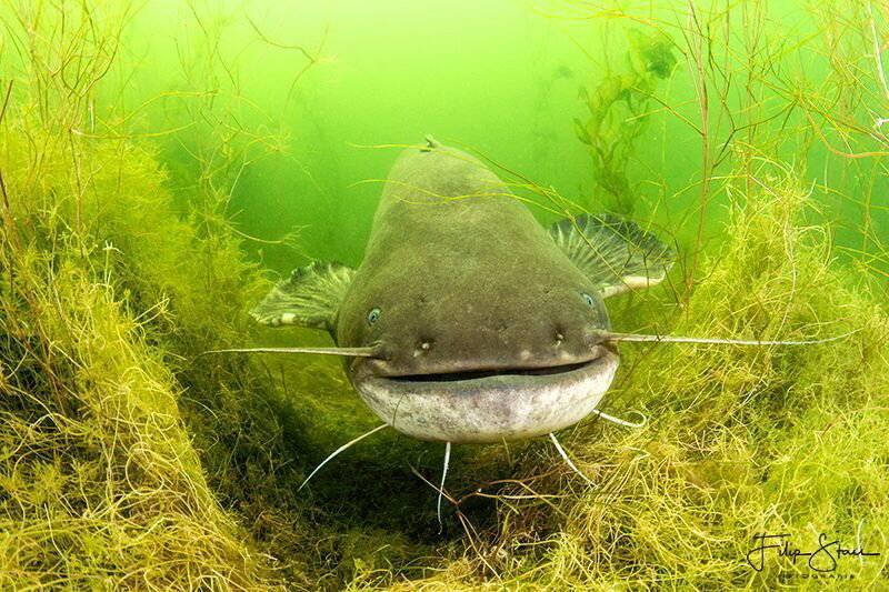 Обыкновенный речной сом: описание, среда обитания, питание и размножение