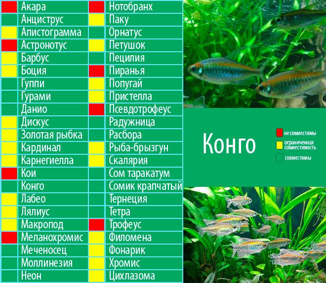 Совместимость гурами (16 фото): с кем уживаются в аквариуме? особенности ухода за рыбками гурами и представителями других пород при совместном содержании