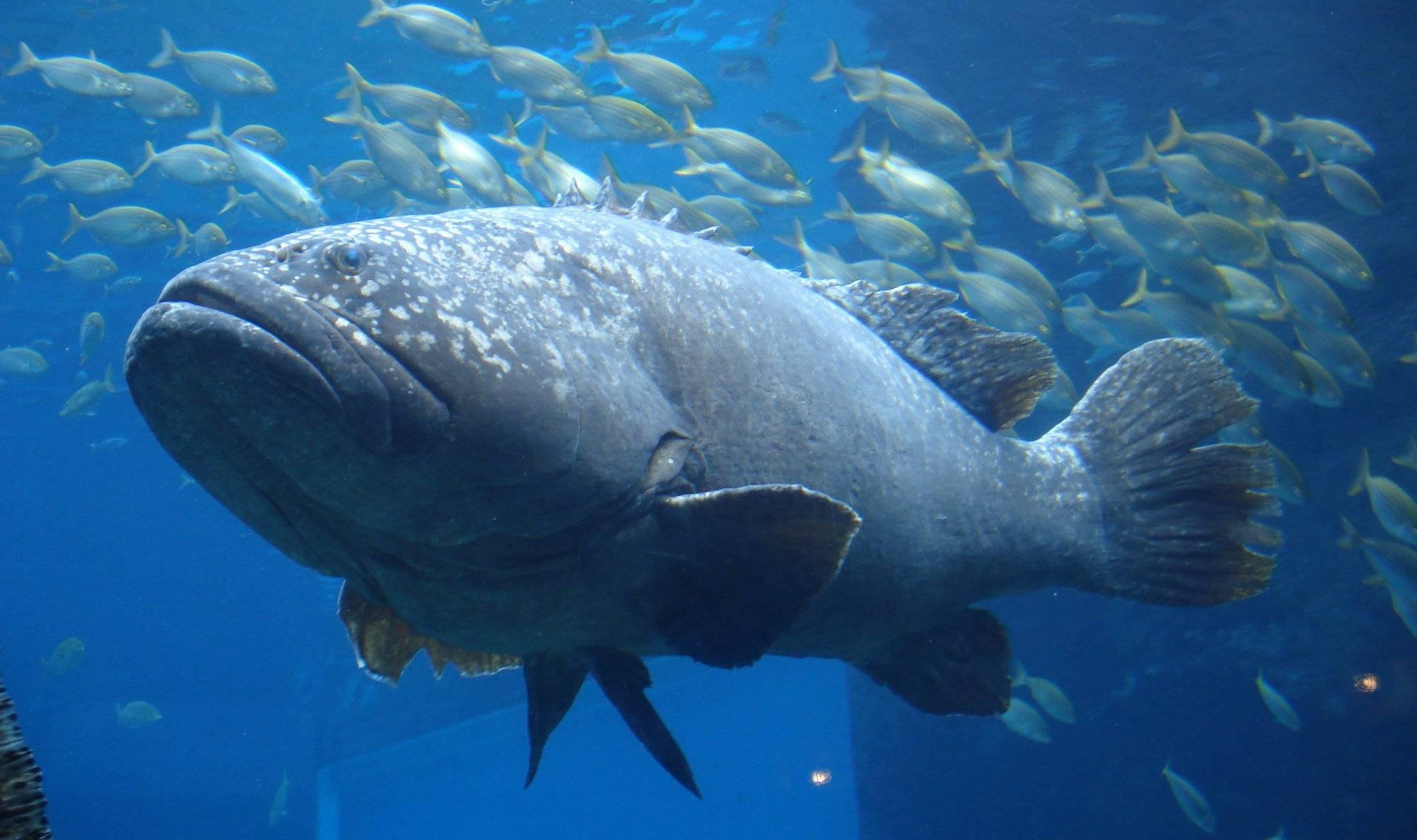 Групера рыба: обзор лучших идей и решений как поймать рыбу легко и просто (135 фото)