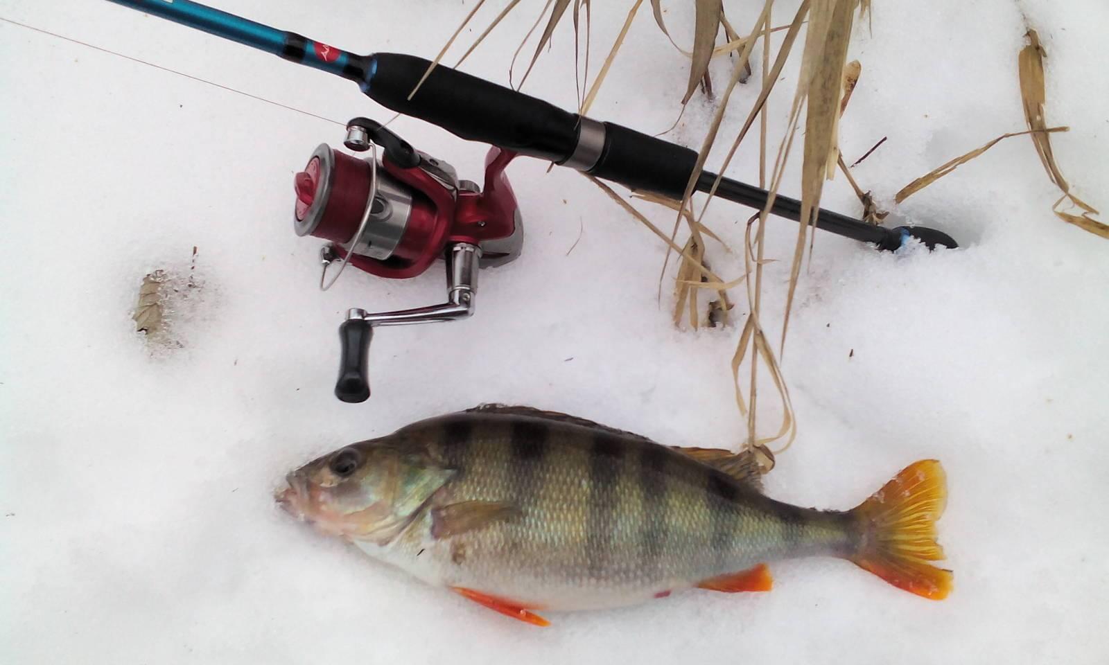 Ловля окуня на отводной поводок - охота и рыбалка, животные, туризм