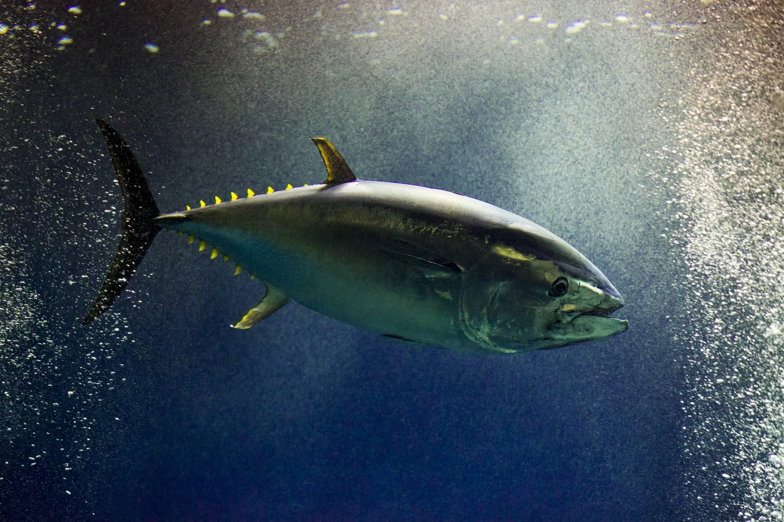 Тунец морская рыба или речная рыба. внешний вид и особенности | здоровье человека