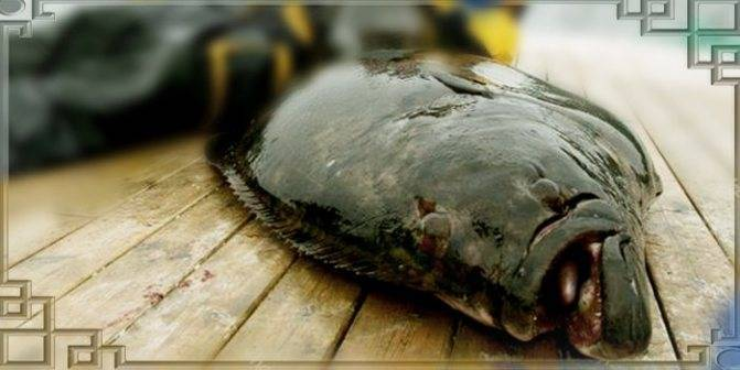 Рыба палтус?: фото и описание. как выглядит палтус?, чем питается и где водится