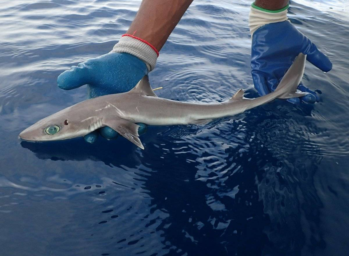 Катрановая акула: колючая и заразная — 4 лапки
