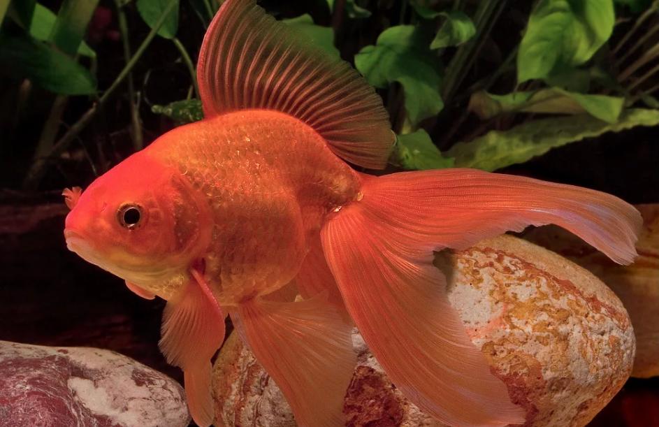 Содержание и размножение золотых рыбок вуалехвостов в аквариуме