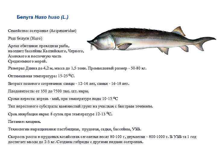 Калуга осетровая рыба