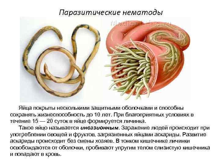 Нематоды у человека - симптомы и лечение. какие нематоды паразитируют в организме человека
