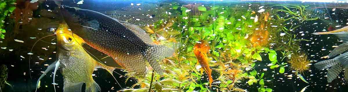 Чем и сколько кормить сомиков в аквариуме (от мальков до взрослых особей)?