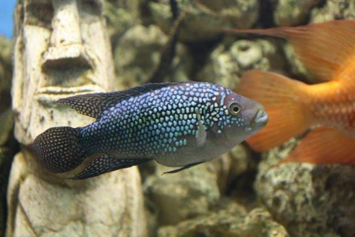 Аквариумная рыбка цихлазома: виды, описание, совместимость и размножение