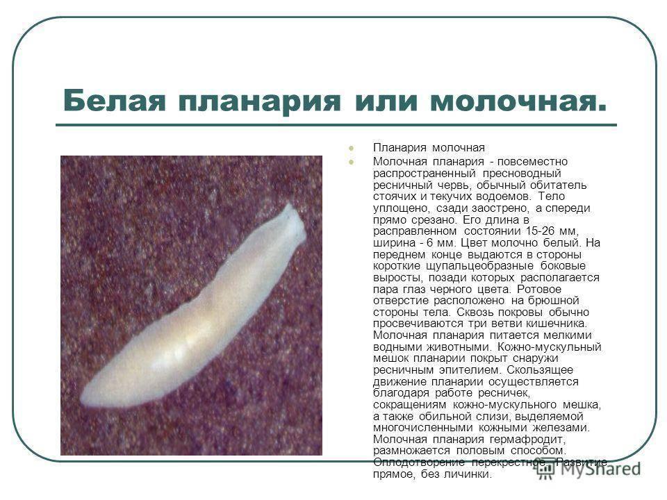 Тип плоские черви. белая планария | биология  | современный урок