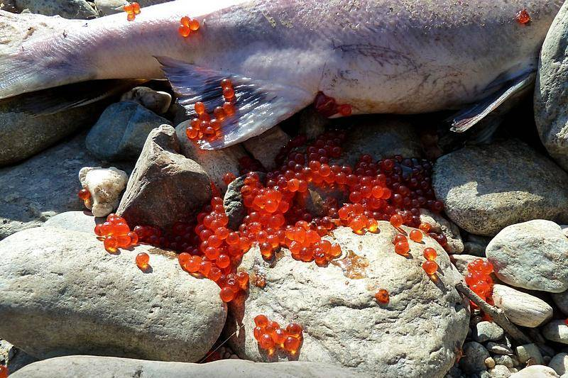 Когда происходит нерест лососевых рыб