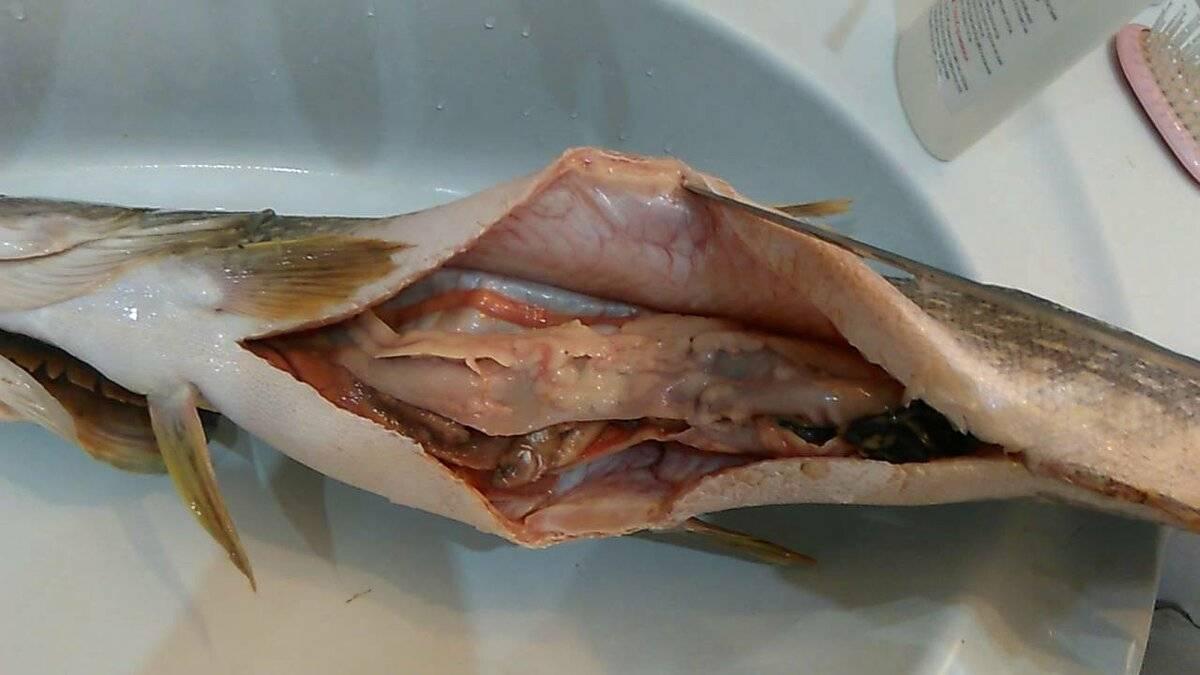 Солитер в рыбе, можно ли есть, как выглядит (фото, видео), опасен ли для человека, бывает ли в селедке, леще, карасе, минтае?
