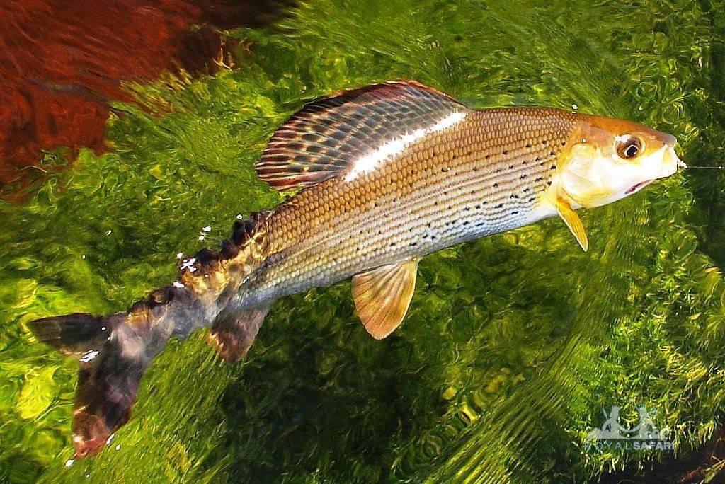 Рыба фугу: как выглядит, чем опасна, где обитает