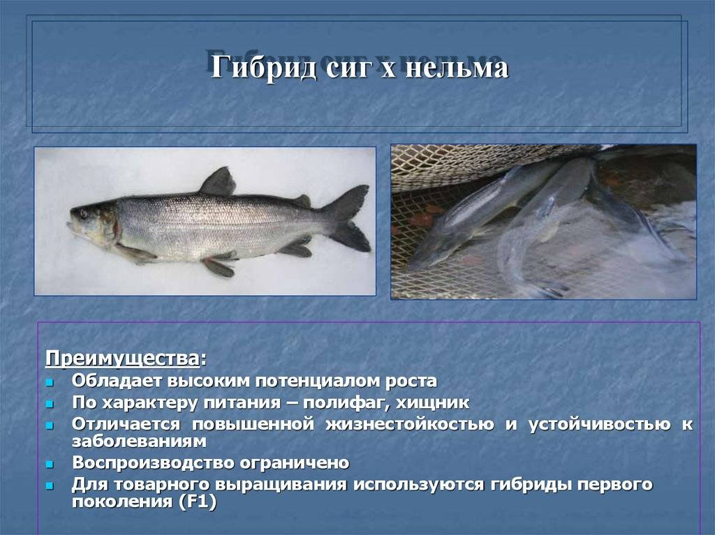 Рыба сиг - что это за рыба?