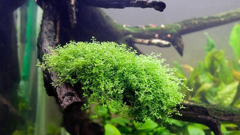 Хемиантус куба: описание растения, правила посадки и ухода