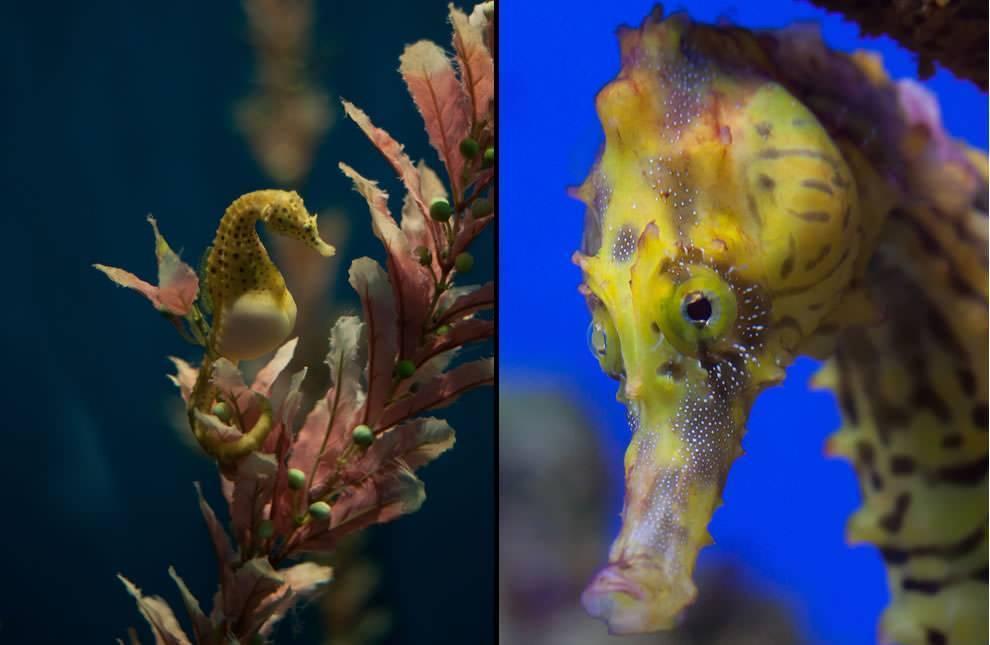 Морские коньки: из упряжки колесницы нептуна прямо в домашний аквариум
