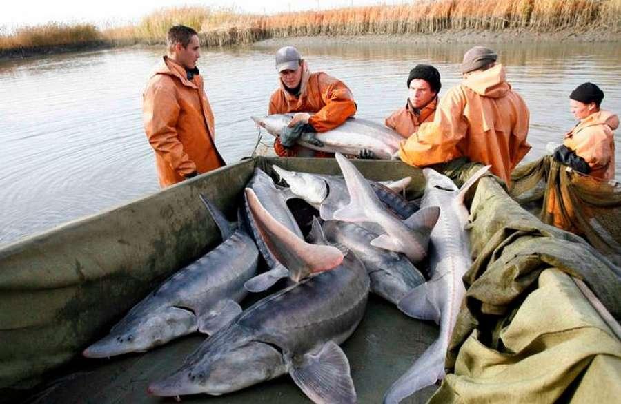Рыба калуга: эндемик бассейна реки амур