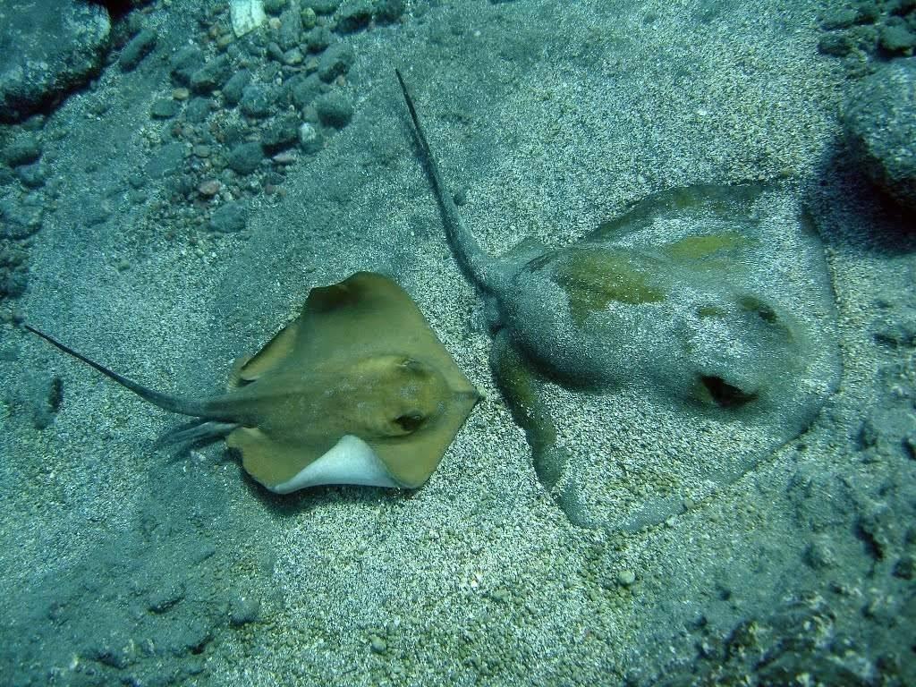 Скат хвостокол или морской кот