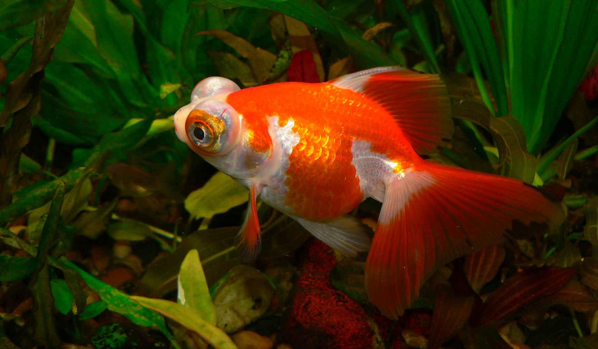 Рыбка телескоп (36 фото): особенности содержания аквариумных рыб черного и золотого цветов, основы ухода за аквариумом. с кем уживаются такие рыбы и сколько они живут?