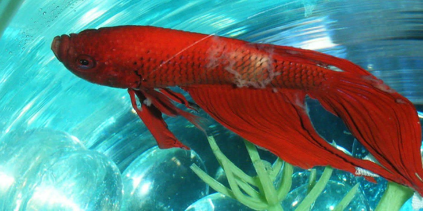 Ихтиофтириоз (манка) в общем аквариуме у рыб: симптомы и лечение болезни, опасна ли для человека