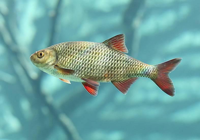 Рыба чебак: что за рыба, как приготовить? 6 рецептов