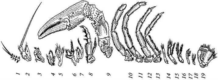 Класс ракообразные. отряды: десятиногие, равноногие, веслоногие, ветвистоусые и карпоеды. строение и размножение речного рака