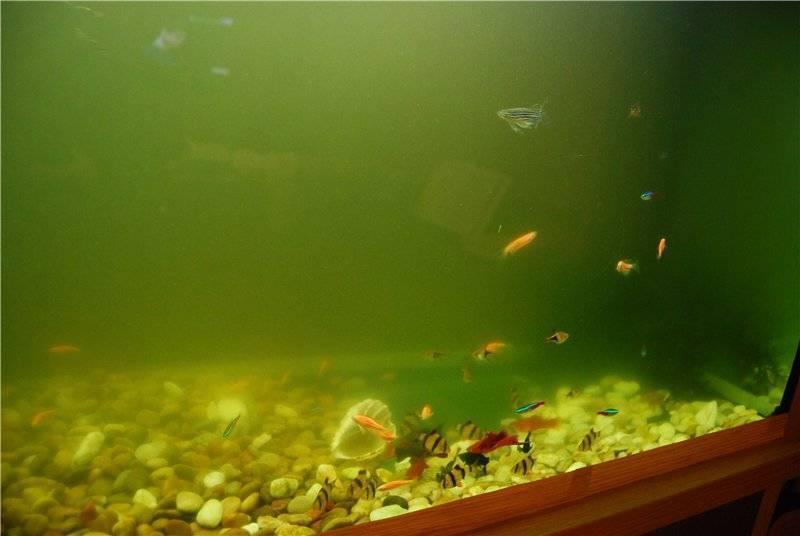 Мутная вода в аквариуме - эффективные средства борьбы с проблемой
