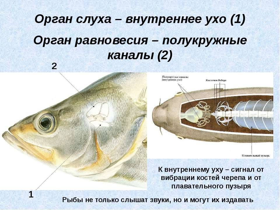 Органы чувств рыб. строение органов зрения, слуха, боковой линии