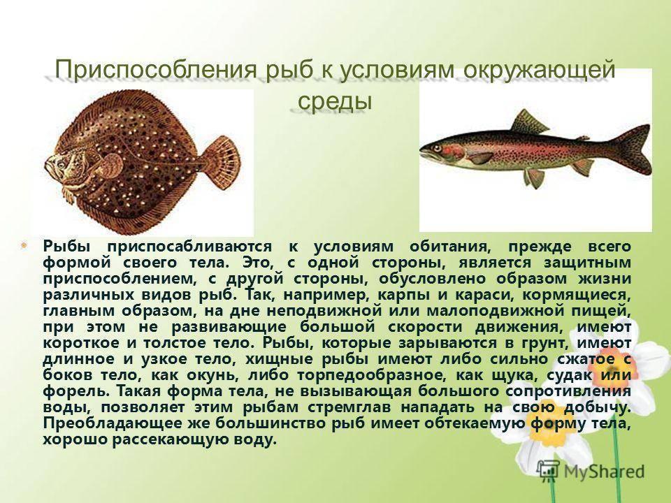 Рыба рыбец: описание, развитие, интересные факты и среда обитания