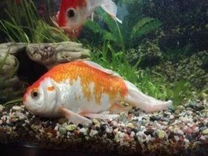 Что делать, если в аквариуме умирают рыбки. от чего умирают рыбки в аквариуме и что можно сделать в новом аквариуме дохнут рыбы