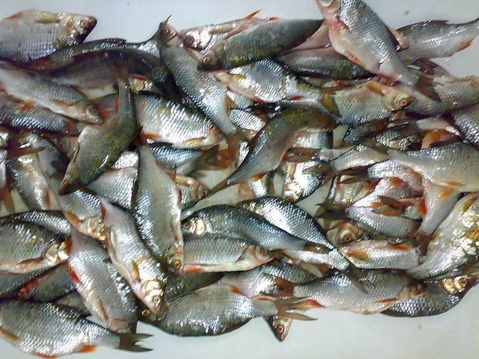 Пикша? что за рыба, полезные свойства и вред для организма